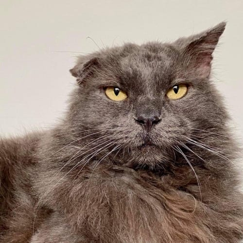 Smokey  - Domestic Long Hair Cat