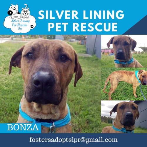 Bonza - Bullmastiff Dog