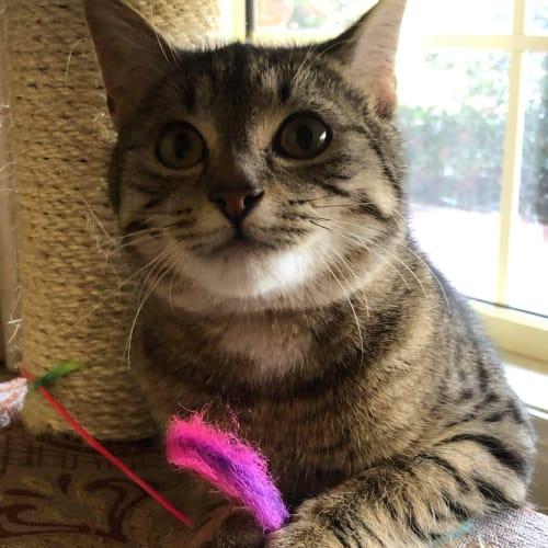 Kate - Domestic Short Hair Cat