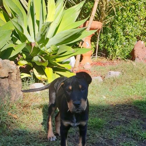 Lewis - Kelpie x Irish Wolfhound Dog