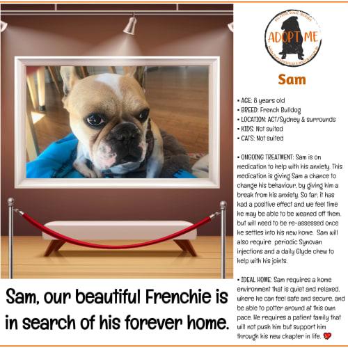 Sam the Frenchie  - French Bulldog