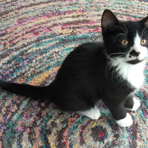John B - Domestic Short Hair Cat