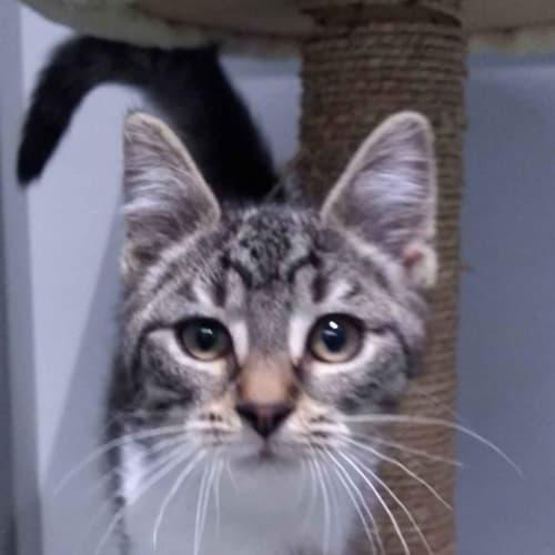 Picnic - Domestic Short Hair Cat