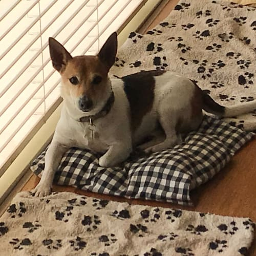 Tigger - Jack Russell Terrier Dog