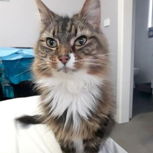 Tilly Girl - Domestic Medium Hair Cat