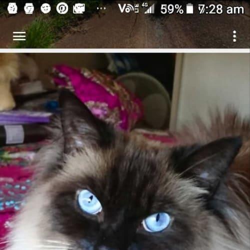 Ragz - Ragdoll Cat