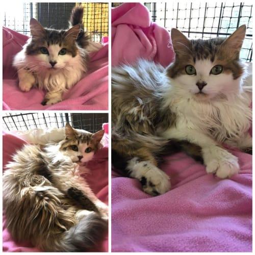 3485 - Finley - Domestic Long Hair Cat