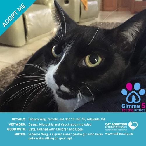 Gideons Way - Domestic Short Hair Cat