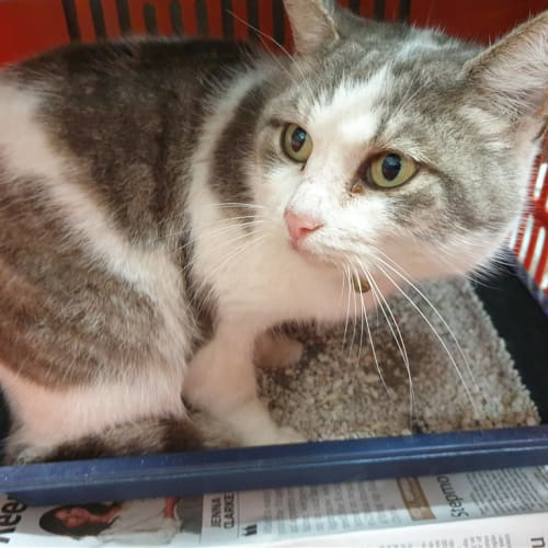 Elisavet - Domestic Short Hair Cat