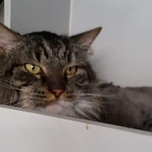 Noah - Domestic Long Hair Cat