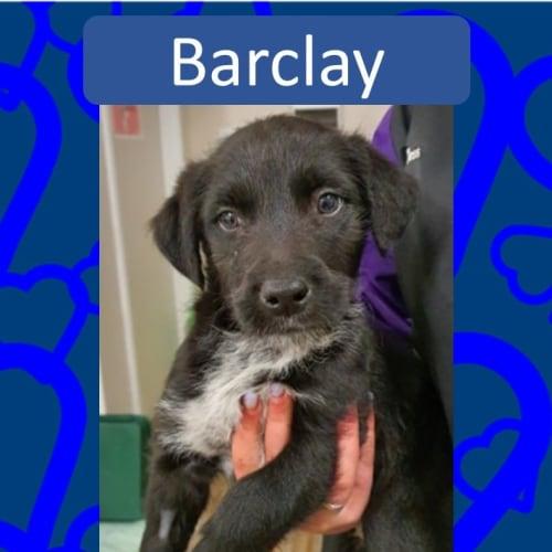 Barclay - Wolfhound Dog