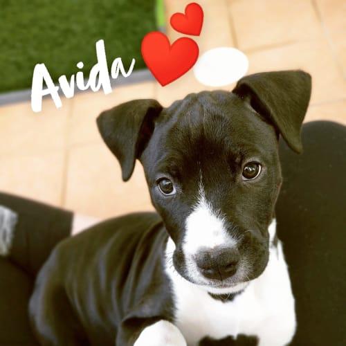 Avida ~ Wolfhound X Bull Arab Puppy - Wolfhound x Bull Arab x American Bulldog