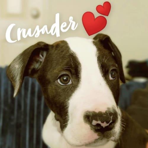 Crusader~ Wolfhound X Bull Arab Puppy - Wolfhound x Bull Arab x American Bulldog
