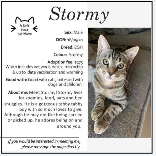 Stormy - Domestic Short Hair Cat
