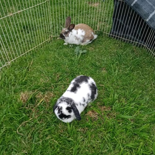 Alfie and Bunny - Mini Lop x Flemish Giant Rabbit