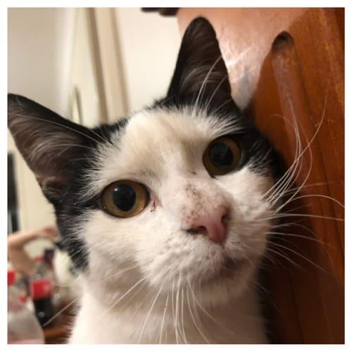 Mara ** So Beautiful ** - Domestic Short Hair Cat