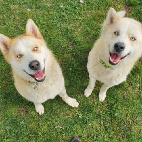 Arlo & Nova - Siberian Husky Dog