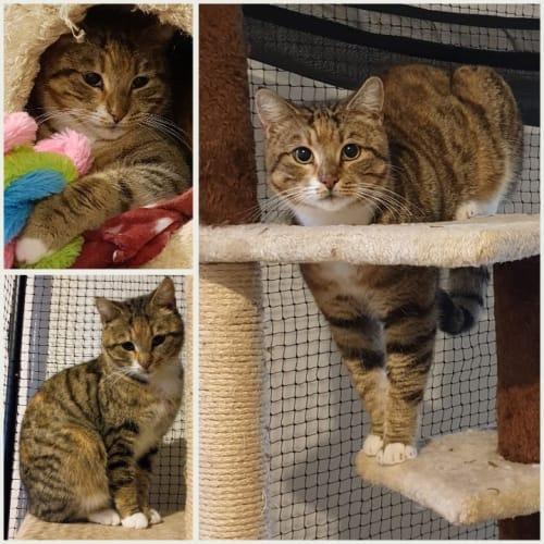 3160 - Lizzie - Domestic Short Hair Cat