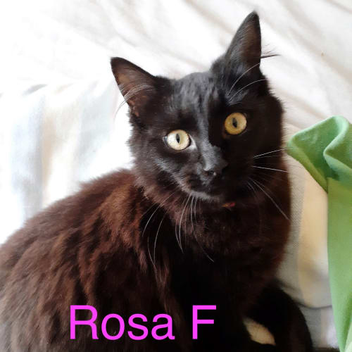 Rosa - Domestic Medium Hair Cat