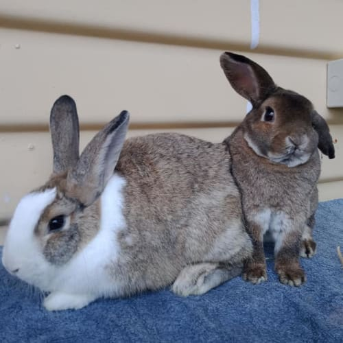 Princess & Prince - Flemish Giant x British Giant x New Zealand White Rabbit