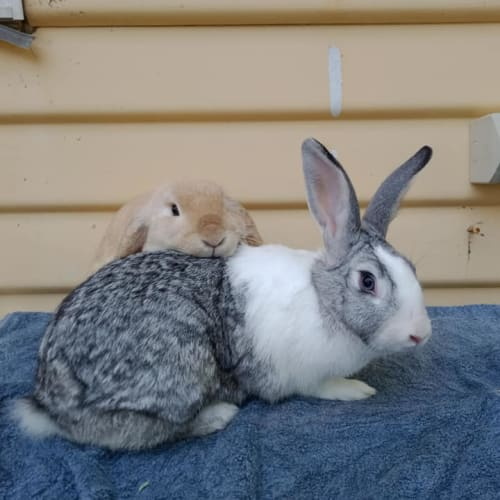 Queen & King - Flemish Giant x British Giant x New Zealand White Rabbit