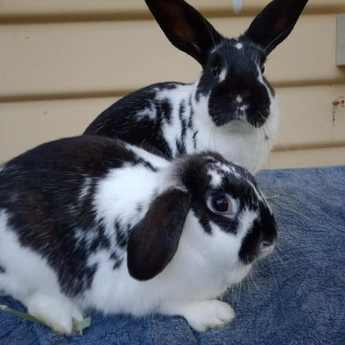 Tit & Tat - Dwarf lop x Mini Lop Rabbit