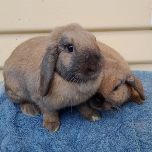 Lemon and Duke - Mini Lop x Dwarf lop Rabbit