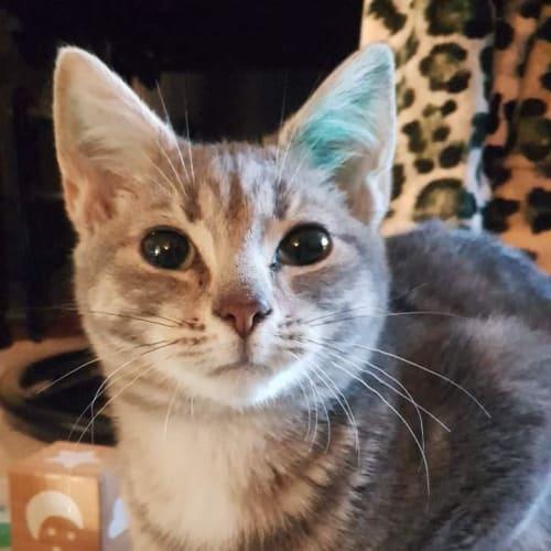 Aydin - Domestic Short Hair Cat