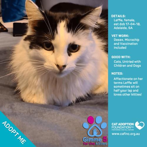 Leffie - Domestic Medium Hair Cat