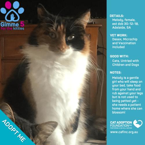 Melody - Domestic Medium Hair Cat