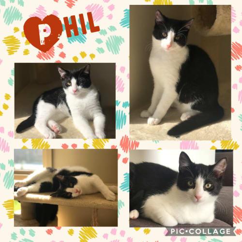 Phil - Domestic Short Hair Cat