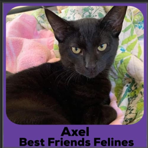 Axel - Domestic Short Hair Cat
