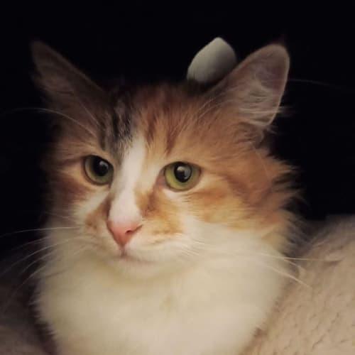 3141 - Garcelle - Domestic Medium Hair Cat