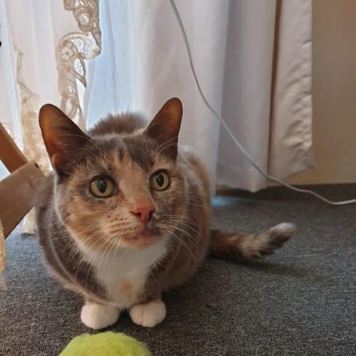 Sweet Lilla - Domestic Short Hair Cat