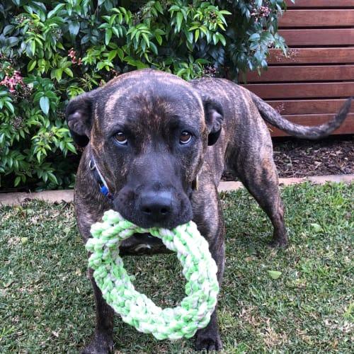 Tessa - Staffordshire Bull Terrier x Bullmastiff Dog
