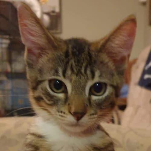 Beautiful Brandi - Domestic Short Hair Cat