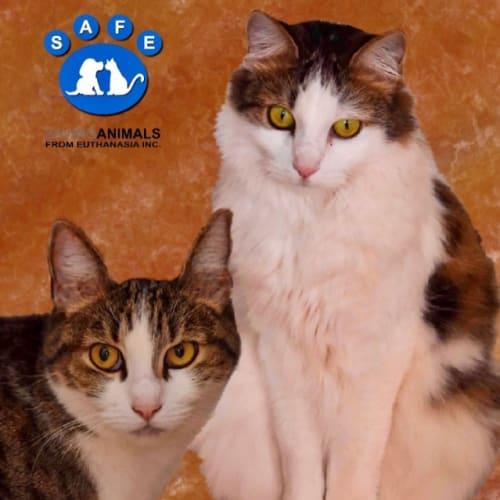 Roxy - Domestic Medium Hair Cat