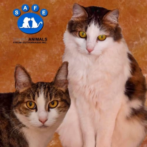 Taya - Domestic Short Hair Cat