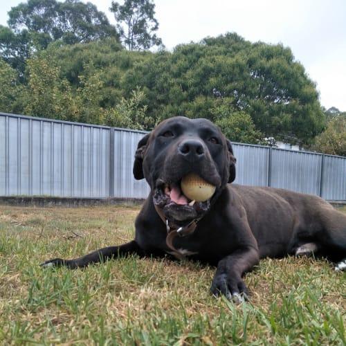 Franky - American Staffordshire Bull Terrier Dog