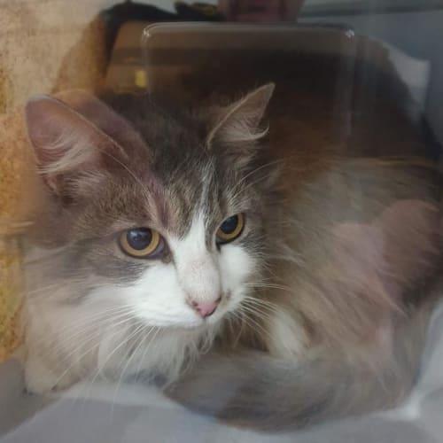 Tinkerbell - Domestic Long Hair Cat