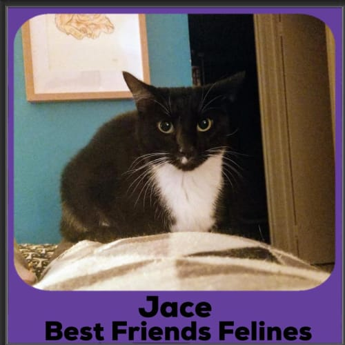 Jace - Domestic Short Hair Cat