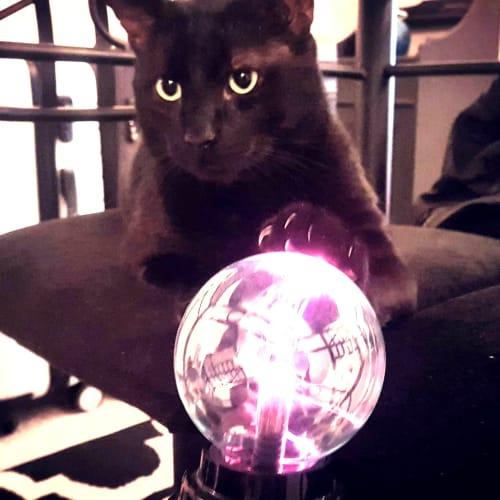 Salem *Foster carer needed* - Domestic Short Hair Cat