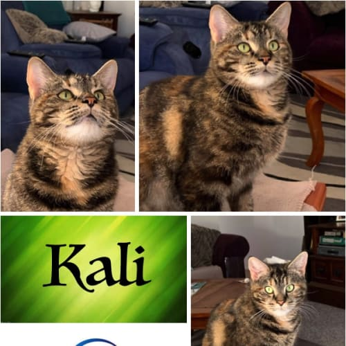 Kali - Domestic Short Hair Cat