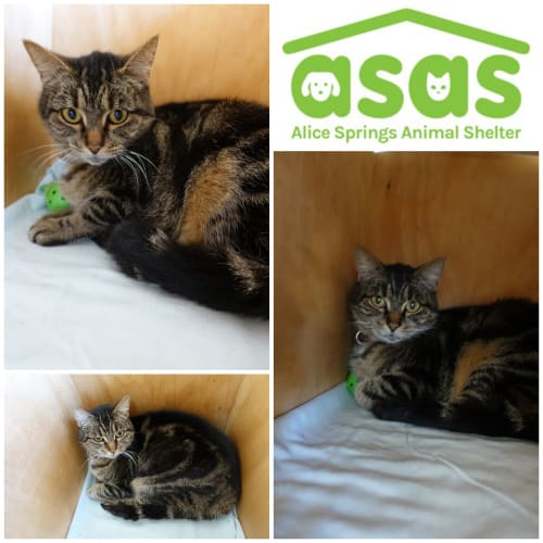 Indy  CT20-273 - Domestic Medium Hair Cat