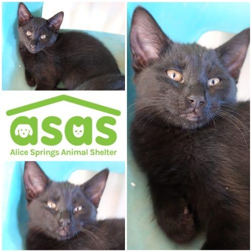 Alisa  CT20-278 - Domestic Short Hair Cat