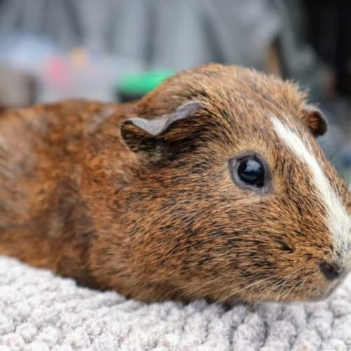 Barley  -  Guinea Pig