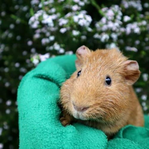 Orange Boy -  Guinea Pig