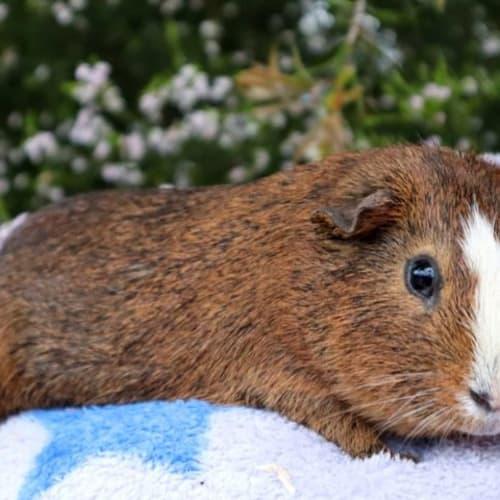 Runway -  Guinea Pig