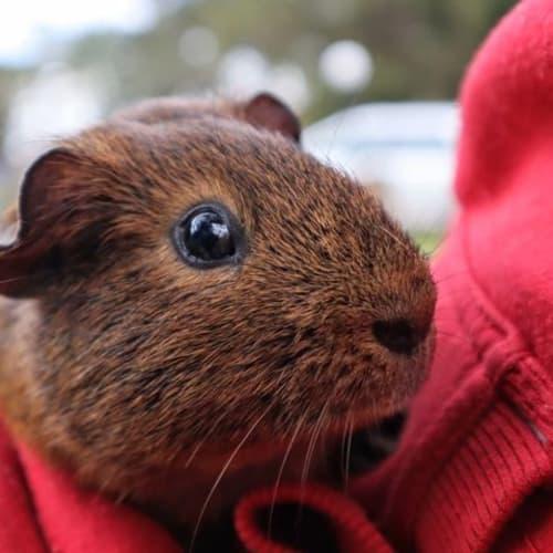 Peanut -  Guinea Pig