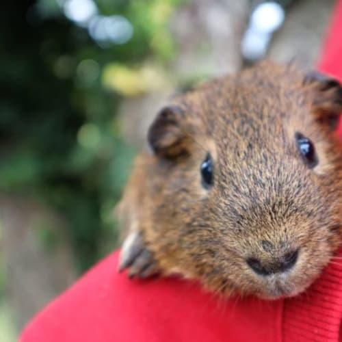 Twizzle -  Guinea Pig